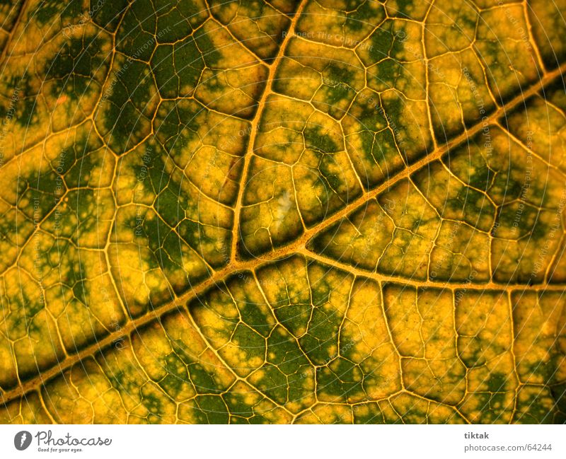Labyrinth of courgettes 2 Leaf Vessel Underside of a leaf Botany Plant Green Yellow Brown Rachis Light Lighting Limp Leaf green Growth Provision Physics