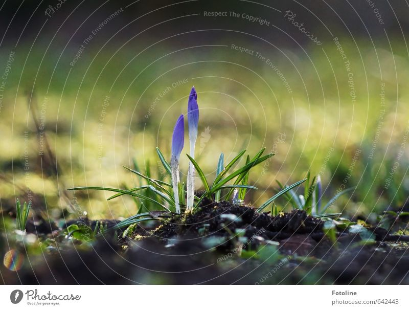 Nature Plant Flower Leaf Environment Meadow Spring Blossom Bright Garden Park Earth Elements Crocus Spring flowering plant