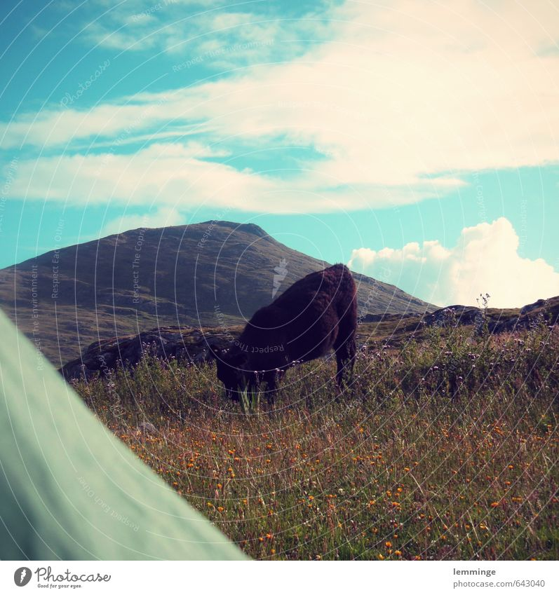 in the morning Environment Nature Landscape Sky Grass Animal Farm animal Wild animal Cow 1 Attentive Tent Tent door Scotland Mountain Hiking To feed