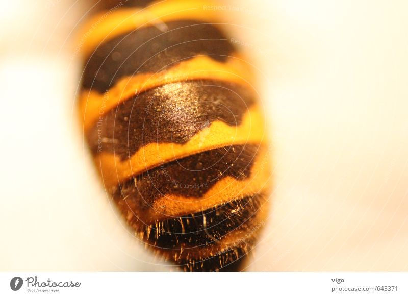 BVB animal Animal Wild animal Dead animal Wasps 1 Yellow Black Colour photo Multicoloured Interior shot Detail Macro (Extreme close-up) Pattern Deserted