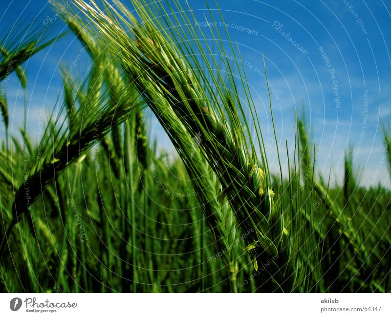 Sky Green Blue Summer Calm Yellow Relaxation Field Wind Weather Grain Agriculture Rye