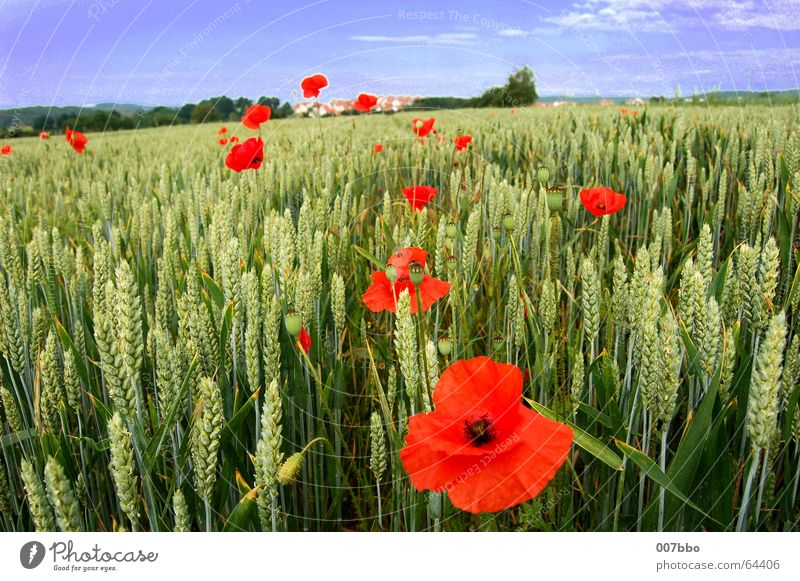 red spots in the landscape Flower Field Wheat Summer Poppy Red Plant Agriculture Village Sky Nature Landscape Contrast