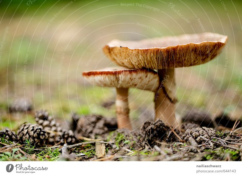 Mushrooms in the autumn forest Environment Nature Plant Autumn Moss Mushroom picker Cone russula Forest Fragrance Faded Growth Simple Happiness Beautiful