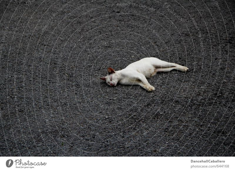 Cat White Loneliness Relaxation Calm Animal Street Sadness Death Gray Freedom Lie Contentment Lifestyle Sleep Asphalt