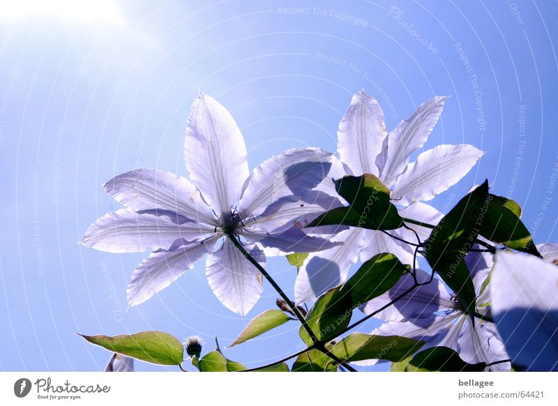 Nature Sky Tree Sun Flower Green Blue Plant Leaf Blossom Violet Blossom leave Midday Clematis