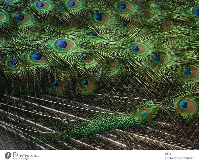 Colour Peacock