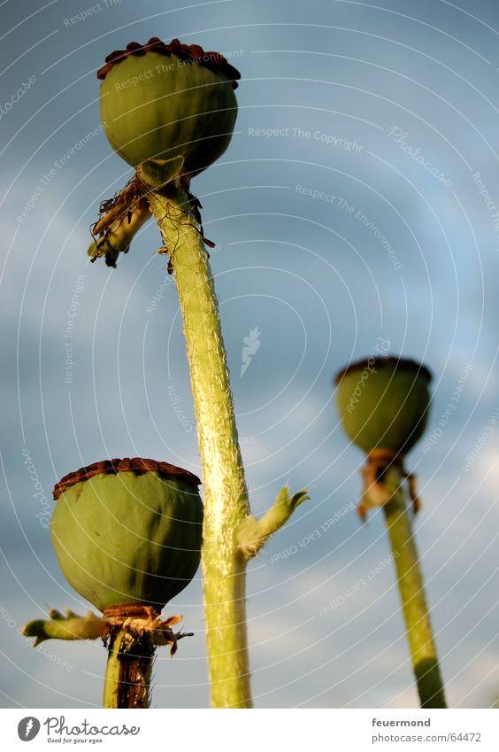Flower Plant Summer Garden Poppy Seed Propagation