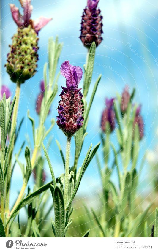 crested lavender Lavender Provence Plant Flower Blossom Medicinal plant Violet Summer Fragrance Garden purple Blue Sky Blue sky