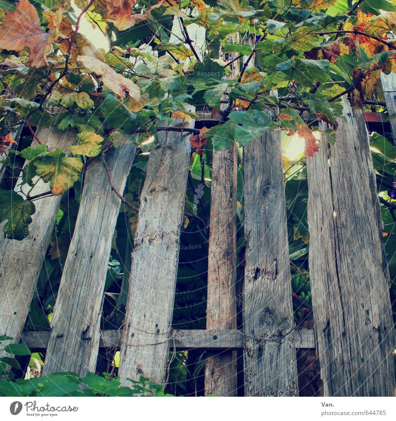 Nature Old Green Plant Autumn Gray Bushes Vine Fence Tendril Breakage Decompose Wooden fence