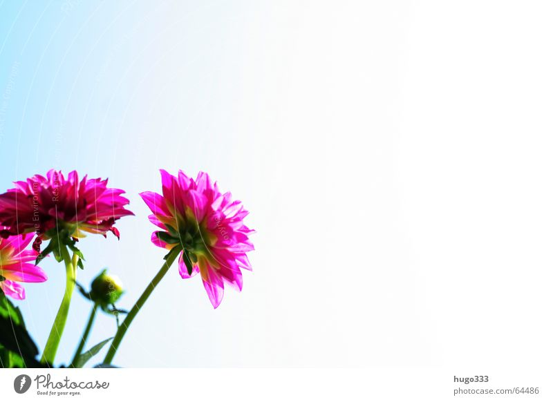 Sky Flower Blue Red Summer Blossom Bright Pink Pure Delicate Smooth Exotic Progress Daisy Family Ornamental plant Dahlia