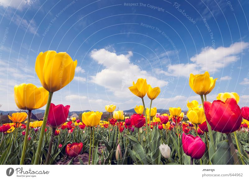 outgrowth Environment Nature Sky Clouds Horizon Spring Beautiful weather Flower Tulip field Tulip blossom Blossoming Growth Fragrance Near Blue Yellow Green Red