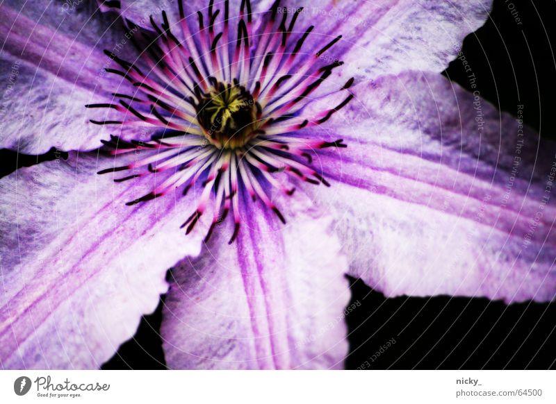 purple whatsit Flower Leaf Violet Plant Pink Black Summer Growth Pistil stamp Garden grow