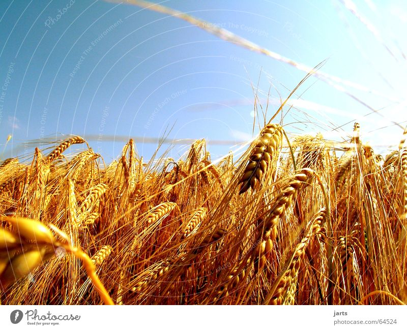 ...glowing corn gold.... Field Summer Light Agriculture Ear of corn Sky solar rays Grain Blue Sun Nature jarts