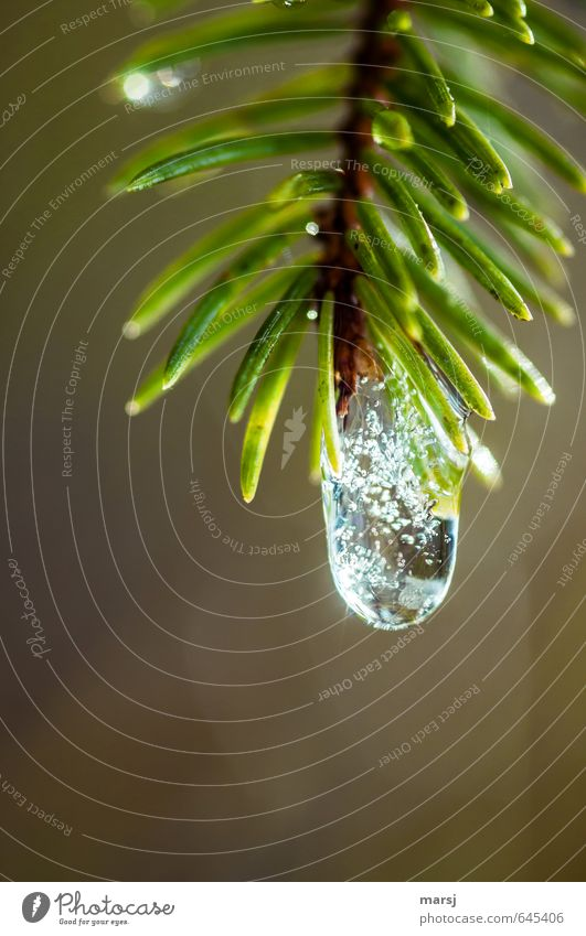 Drops with inclusions Nature Elements Water Drops of water Sunlight Autumn Winter Ice Frost Plant Tree Foliage plant Wild plant spruce needles Branch Glittering