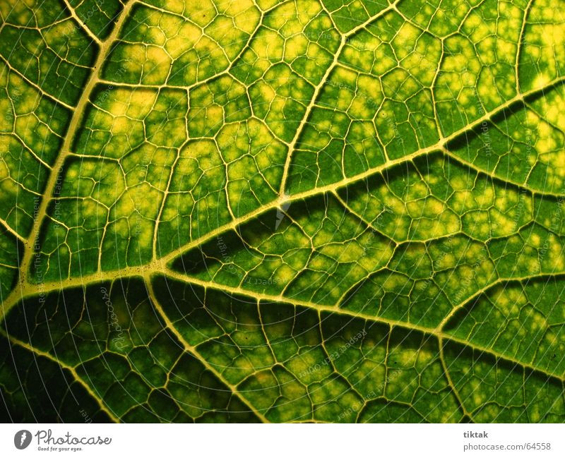All paths lead to the root Leaf Vessel Underside of a leaf Botany Plant Green Yellow Brown Rachis Light Lighting Limp Leaf green Growth Provision Nutrition