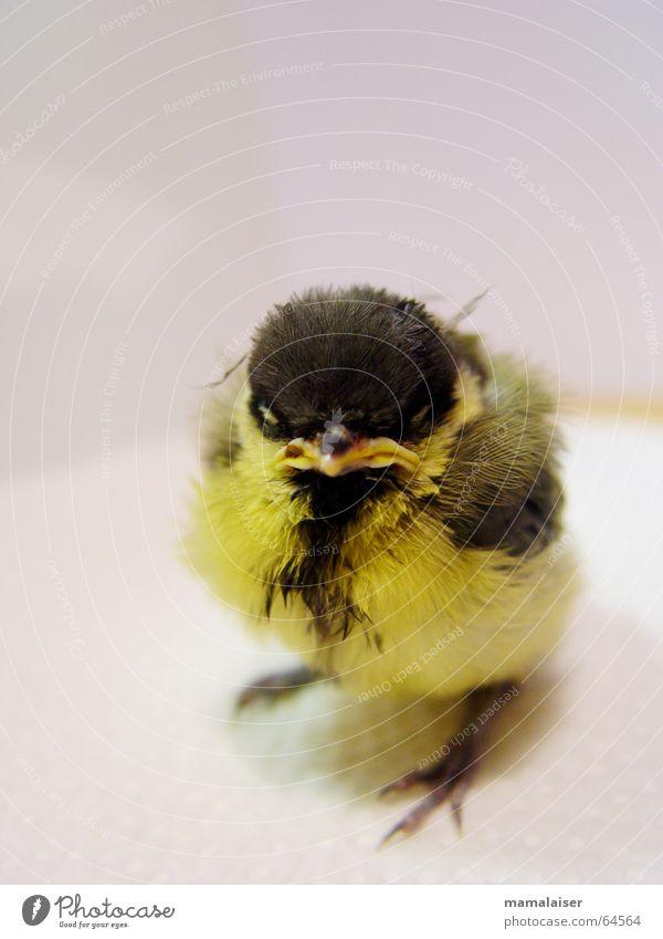 Black Animal Yellow Bird Sweet Cute Evil