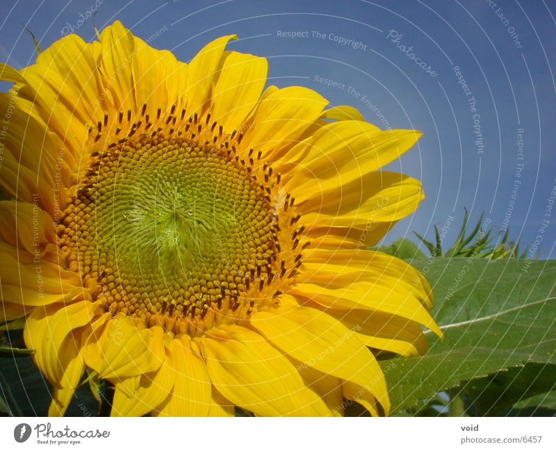 sunflower Sunflower Flower
