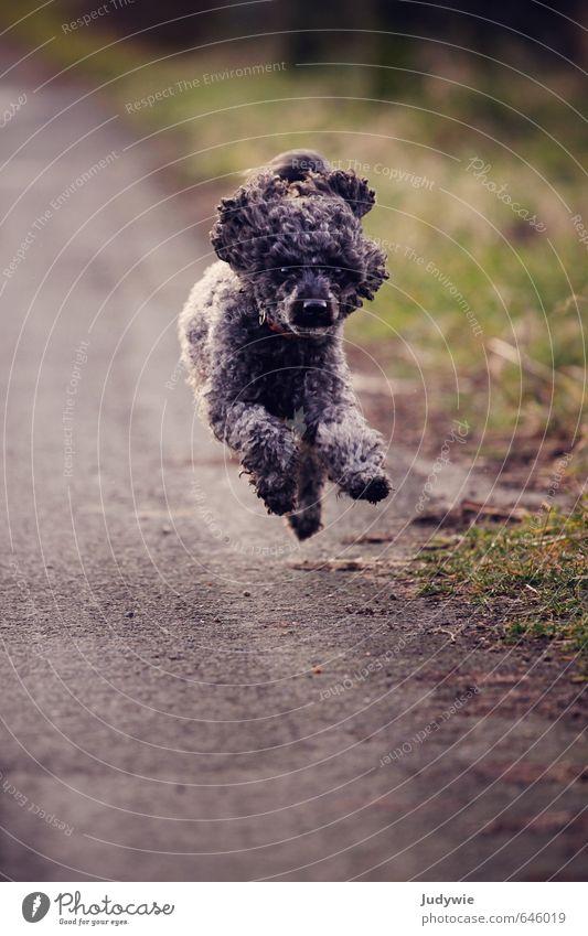 Run Toni, run! Joy Life Sports Fitness Sports Training Environment Nature Autumn Meadow Transport Street Lanes & trails Black-haired Curl Animal Pet Dog Poodle