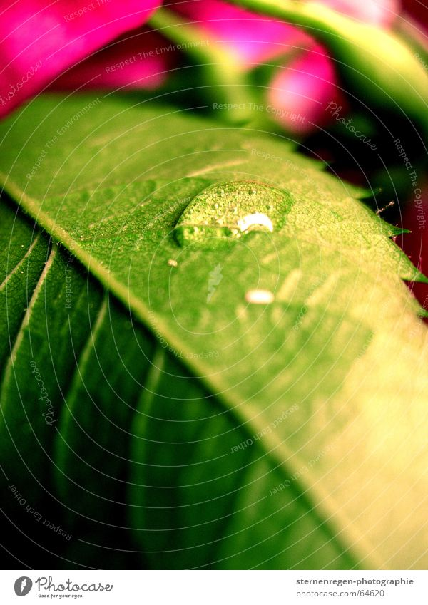 Nature Water Green Plant Flower Leaf Pink Drops of water Rope Rose Macro (Extreme close-up)