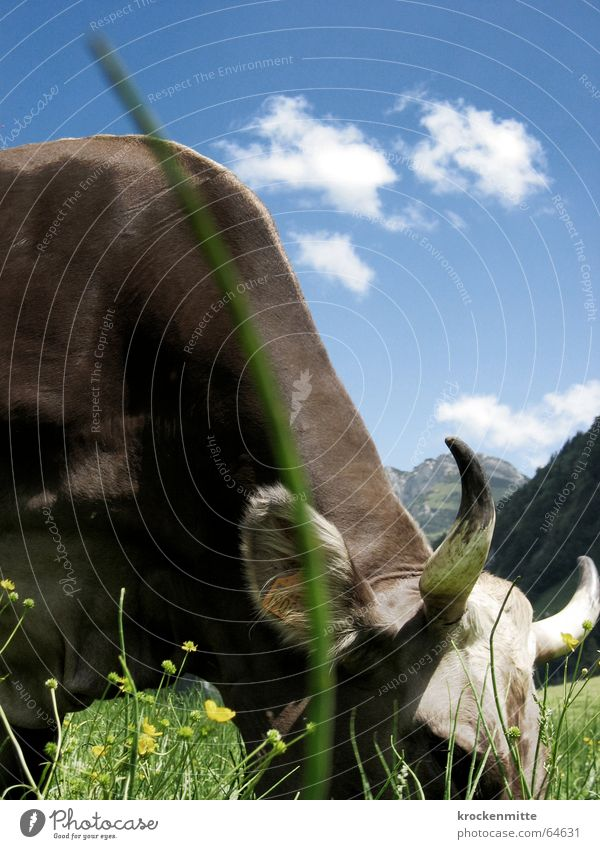 grazing Cow Meadow Green Clouds Blade of grass To feed Switzerland Cattle Dairy cow Flower meadow Summer Pasture Sky Antlers Mountain Alpine pasture Nutrition
