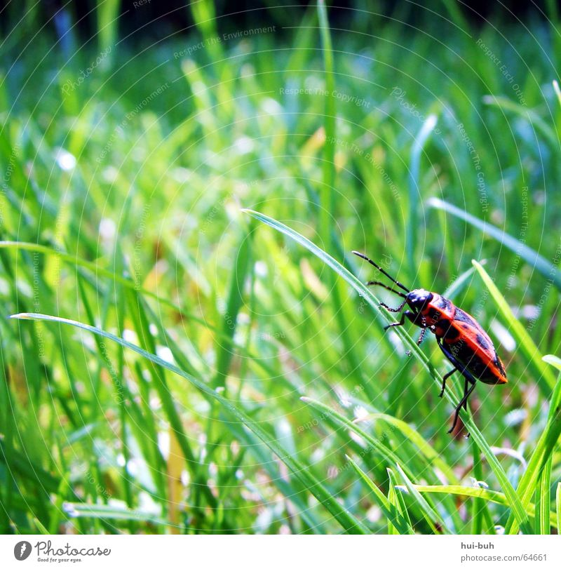 Green Red Loneliness Animal Jump Grass Legs Sit Multiple Many Blade of grass Canoe Beetle Fire-colored beetle