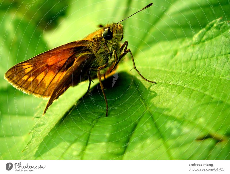 Chilling in the green Butterfly Leaf Green Crawl Feeler Animal Insect Wing Eyes Walking walk Legs leg little animal sitting Sit Wait waiting