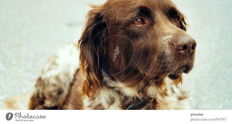 Animal Street Dog Brown Places Lie Asphalt Pelt Motionless Snout Obedient Obstinate Hound Disheveled Gaze