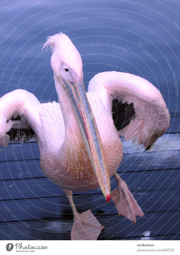 Walking on the Steg Pelican Bird Pink Violet Beak Waddle Zoo Footbridge Animal Stagnating Water Blue Dance clumsy