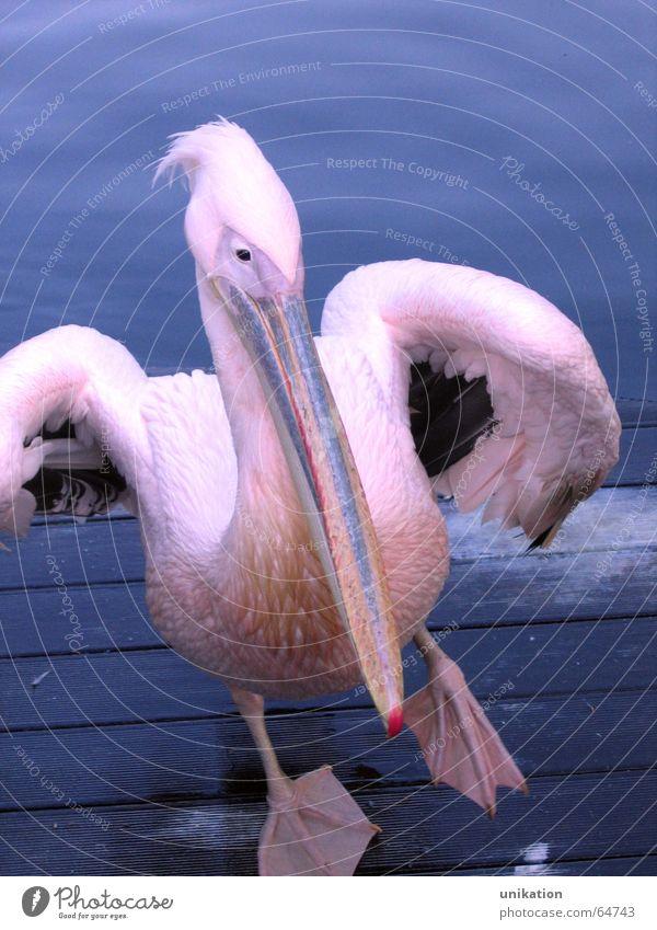 Water Blue Animal Dance Bird Pink Violet Zoo Footbridge Beak Stagnating Pelican Waddle