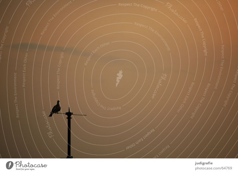 Sky Calm Black Orange Bird Vantage point Electricity pylon Pigeon Dusk Antenna Rod
