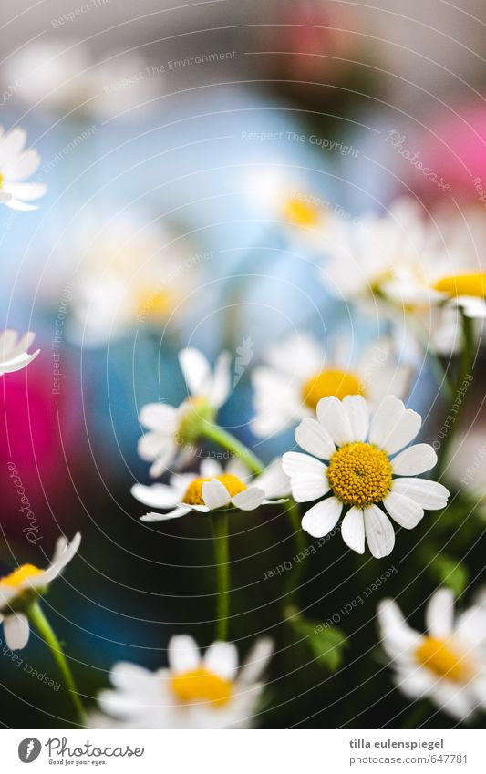 Spring feeling. Fragrance Plant Flower Blossom Meadow Bouquet Blossoming Beautiful Multicoloured Spring fever Nature Transience Camomile blossom Blossom leave