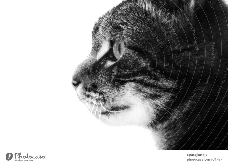 Eyes Animal Cat Pelt Pet Domestic cat Wilderness Cat eyes Big cat Cat's head Wild cat