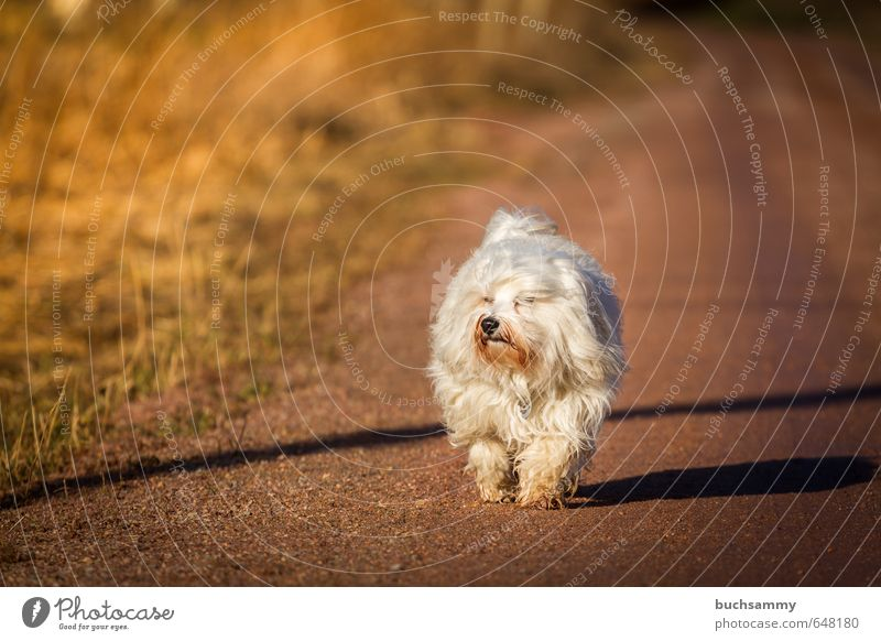 "Good mood Nature Earth Autumn Beautiful weather Grass Animal Pet Dog 1 Going Cute Brown Orange White Moody 2014 ""Havanese bichon four-legged friends Longhair,"""