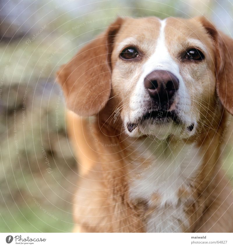 Nature Green Animal Meadow Dog Brown Field Soft To go for a walk Pelt Watchfulness Depth of field Snout Responsibility Crossbreed Scent