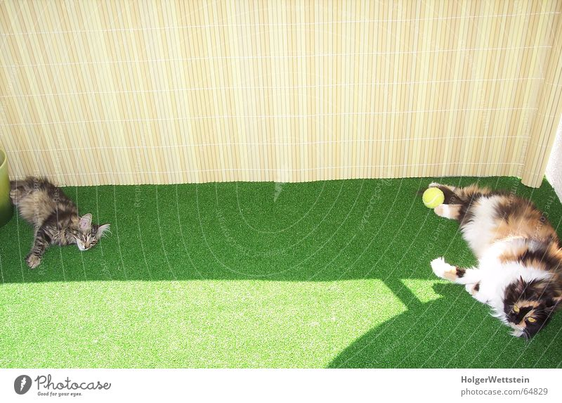 Sporty cats Cat Balcony Artificial lawn Persian cat Physics Hot Tennis ball Meadow Animal tube mat Turkish angora Comfortable Beautiful weather Warmth Shadow