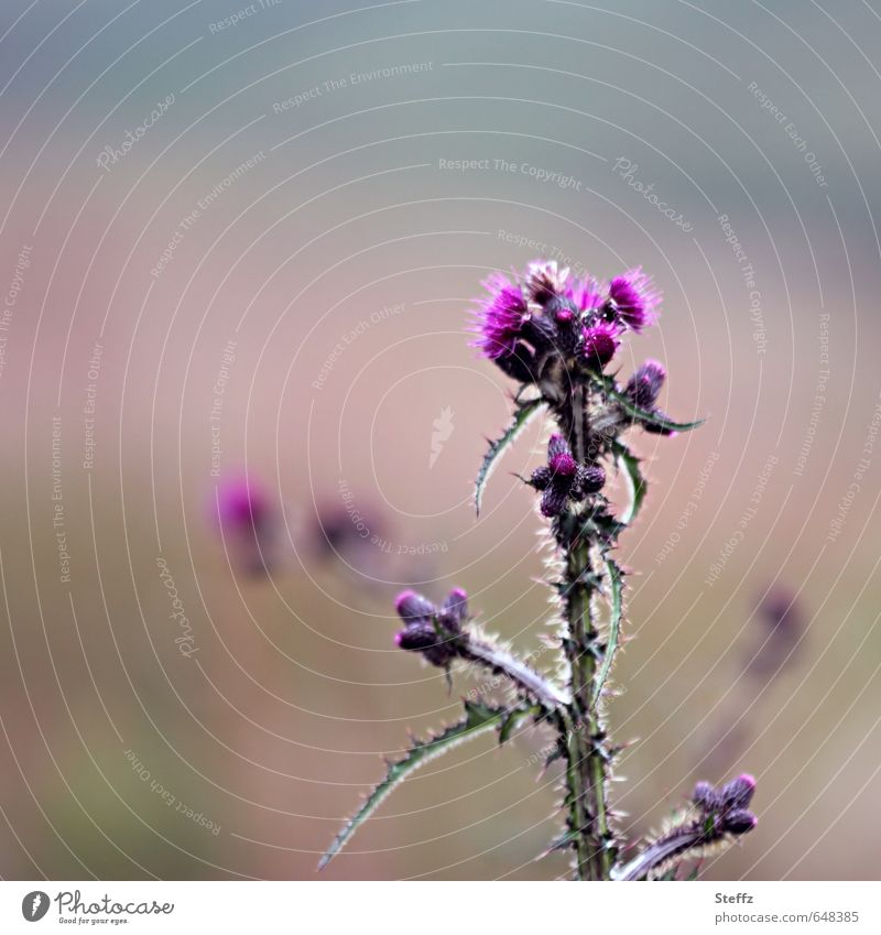 thistle Nature Landscape Plant Summer Wild plant Sign Blossoming Growth Natural Beautiful Thorny Green Pink Attentive Thistle Thistle blossom Thistle leaves