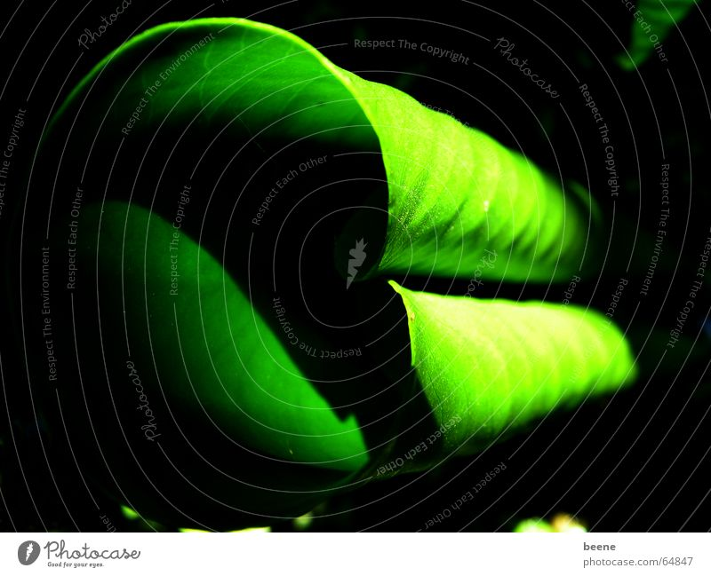 green roll Green Leaf Water lily Water lily leaf Light Pond Coil Shadow Nature curled Garden Mysterious Hide