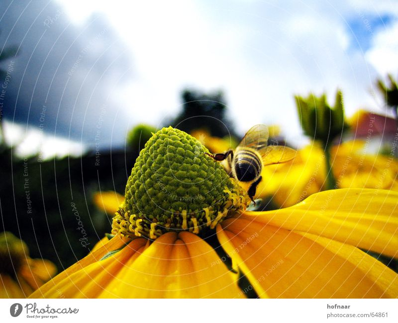 Sky Sun Flower Summer Clouds Nutrition Yellow Blossom Insect Pollen Honey Wasps