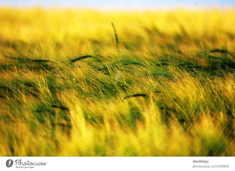 cereal field in sunny yellow Wheat Field Moody Yellow Dusk Green Grain Sky Sun