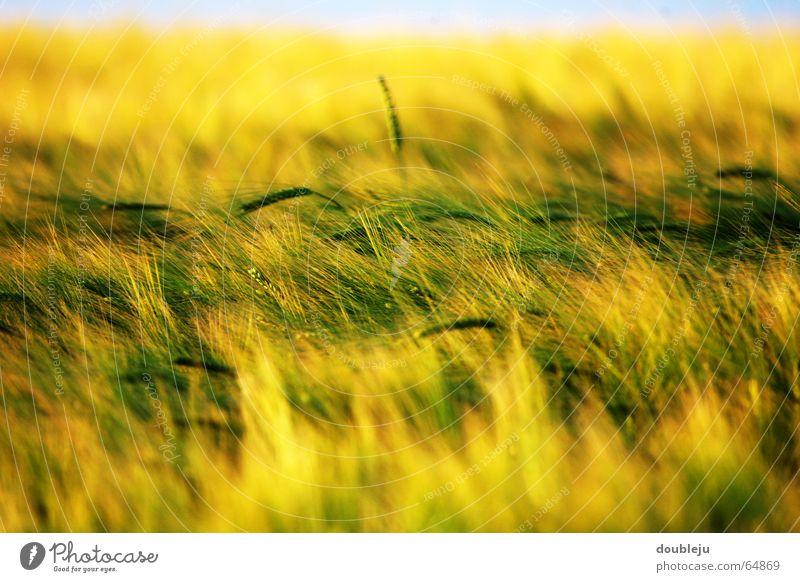 Sky Sun Green Yellow Moody Field Grain Dusk Wheat