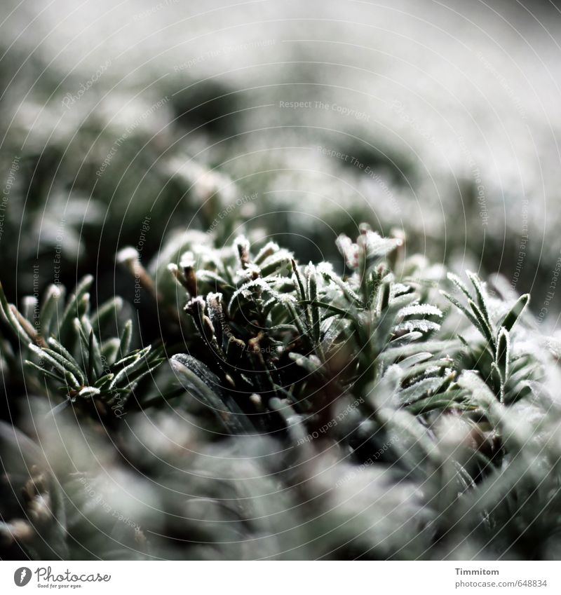 Nature Plant Green White Winter Black Cold Environment Natural Ice Frost Hedge