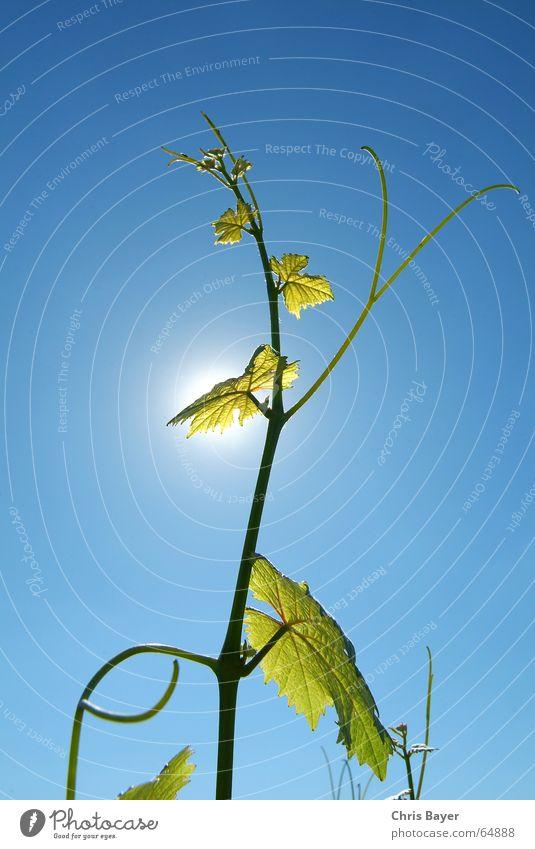 Sky Sun Summer Life Vine Tendril Bavaria Franconia
