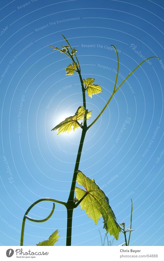 Towards the sun 2 Vine Tendril Summer Franconia Light Sky Life Sun wine