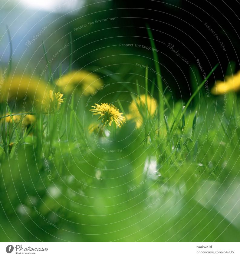 May 25 Meadow Flower Blossom Dandelion Grass Green Yellow Gaudy Spring Multicoloured Leisure and hobbies Goof off Dream Exterior shot Depth of field
