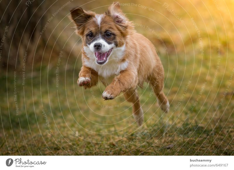 Happy puppy Joy Animal Autumn Pet Dog 1 Baby animal Running Playing Jump Athletic Exceptional Small Speed Crazy Green Orange Moody Joie de vivre (Vitality)