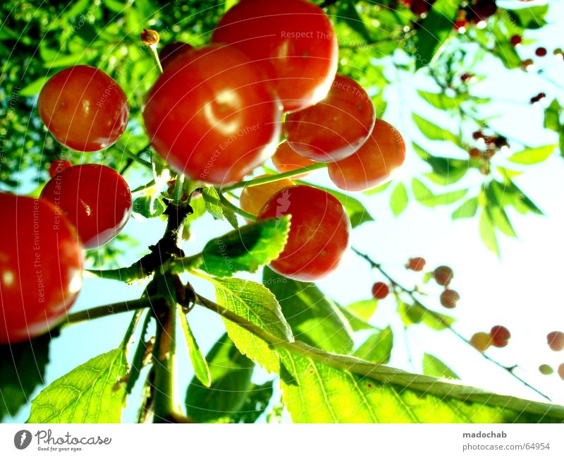 sweet fruit love | cherry fruit summer sun happiness Cherry Summer Sun Fresh Healthy Vitamin Ecological Delicious Sweet Plant Foliage plant Botany Longing Green