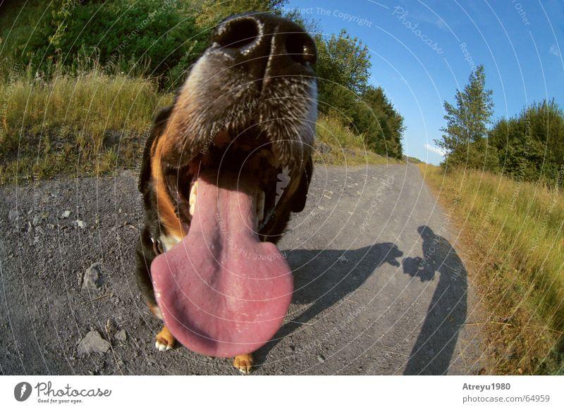 Animal Dog Funny Nose Pelt Breathe Tongue Snout Breath Slaver Malodorous Bad breath Bernese Mountain Dog
