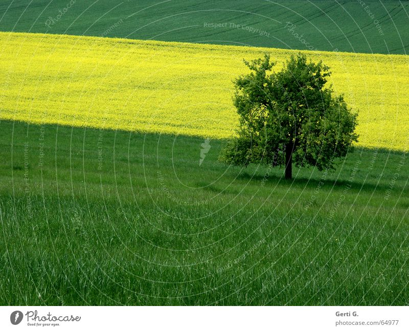 cross_field_on Green Yellow Canola Meadow Grass Field Canola field Tree Loneliness Individual Shade of a tree Stripe Striped Graphic Across Summer Colour Single