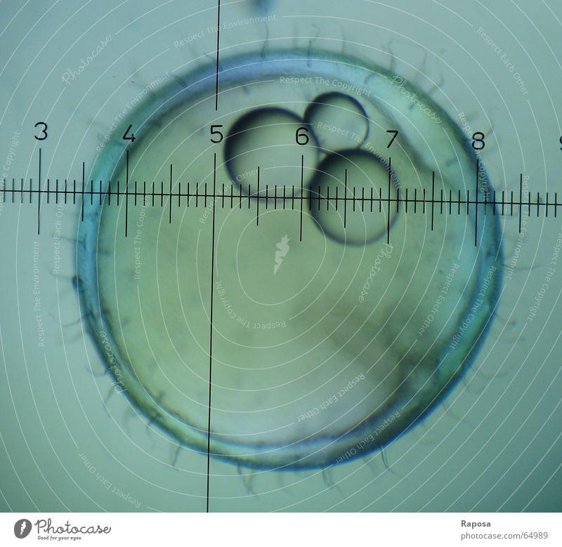 Medaka II Microscope Scale Investigate Zoology Internship Embryo Yolk Chorion Development Growth Propagation Academic studies Biology Draw Research Observe