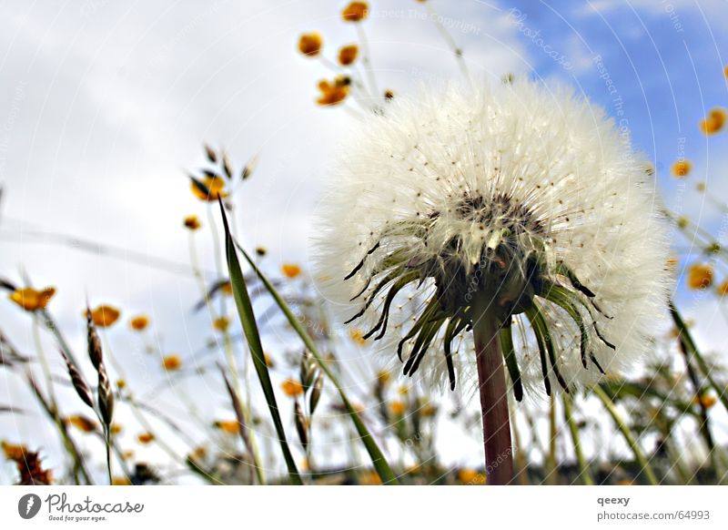 Nature Sky Flower Joy Meadow Freedom Dandelion